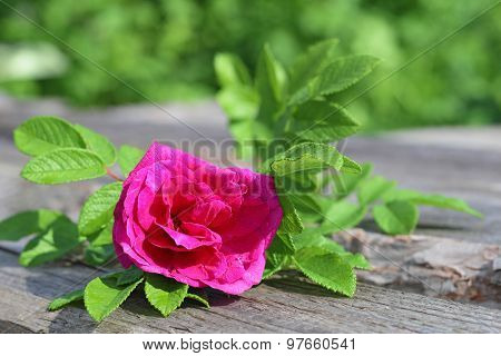 Wild crimson rose with green leaves. Flower of rosehip