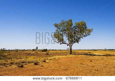 Gum Tree in Australia Outback