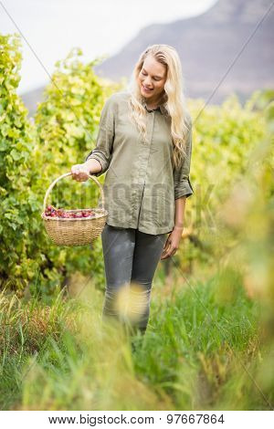 Blonde winegrower walking with her red grapes basket in a vineyard