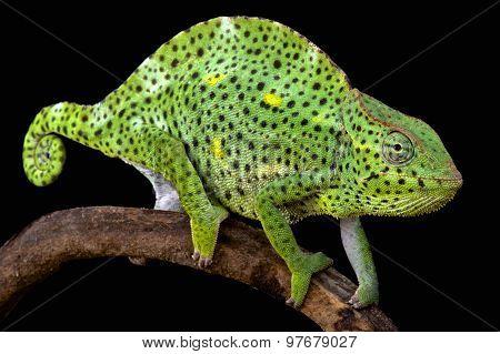 Usumbura giant chameleon