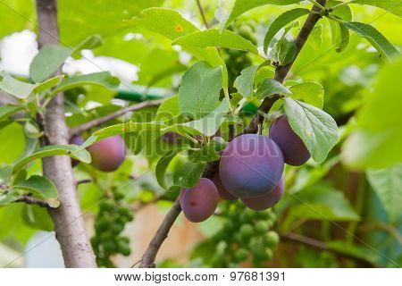 Plum Tree With Delicious Big Red Plums At Sunrise