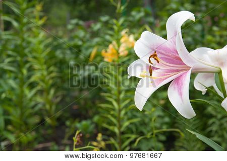 Pink And Yellow Day-lily Blossoms