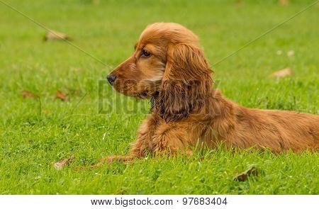 Golden Cocker Spaniel Dog