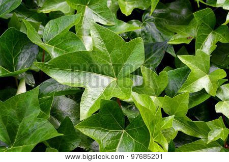 Detail Hedge - Green Leaves Background