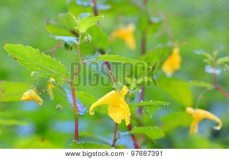 Epimediums Yellow Flowers