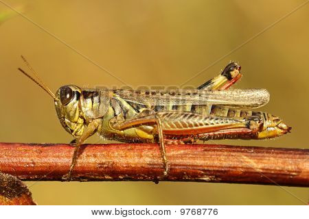 Differential Grasshopper (melanoplus Differentialis)