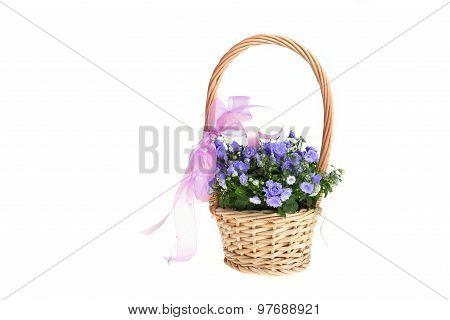 Campanula Bellflowers