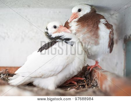 Two Young Pigeons In The Nest