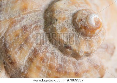 Whelk Spiral