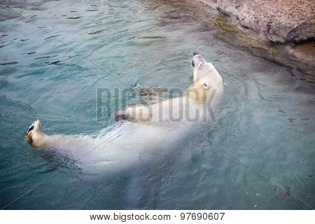 Polar bear swimming - taken on a zoo