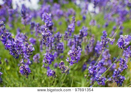 Close up of full bloom lavender (Lavandula) plant