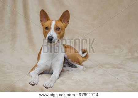 Cute basenji dog lying on a sofa