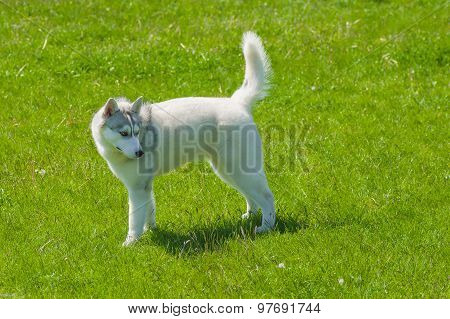 Young siberian husky on a green grass