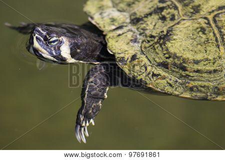 Pond Slider Turtle Swimming
