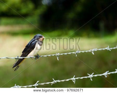Young Swallow (Hirundo rustica)