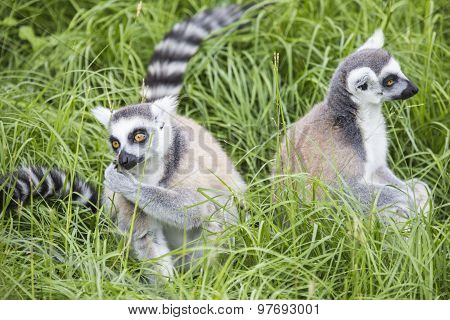 Ring-tailed Lemurs Feeding
