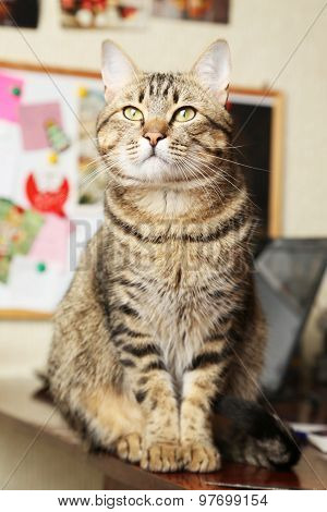 Beautiful Shorthair Cat sitting and looking, close up,