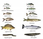 pic of bass fish  - fishes lakes an rivers on white background - JPG