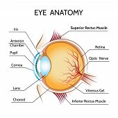 Постер, плакат: Eye anatomy