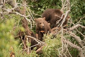 stock photo of bear-cub  - A brown bear cub resting in a dead tree leans on a branch and looks to the right - JPG