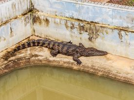 image of crocodile  - farms Crocodiles - JPG