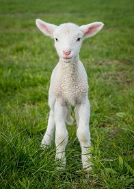 stock photo of suffolk sheep  - a white suffolk lamb a few days old standing on the grass