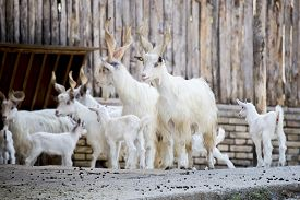 image of cattle breeding  - Herd of domestic goats Capra aegagrus hircus breed Girgentana with kids. This breed from the Sicily is now in danger of disappearance ** Note: Visible grain at 100%, best at smaller sizes - JPG