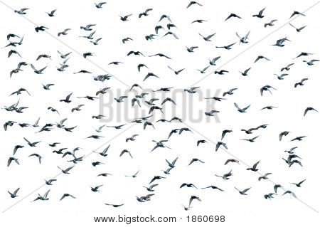 Flock Of Birds, Isolated