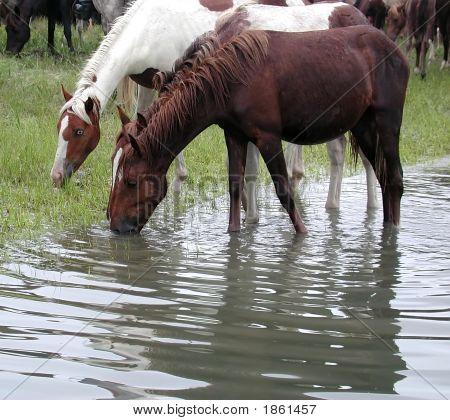 Ponies In Water