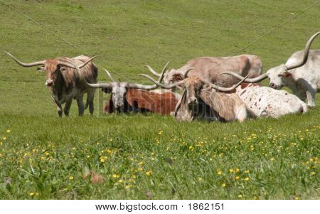 Longhorns In Field
