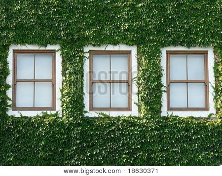 Three wooden windows surrounded by beautiful green ivy.
