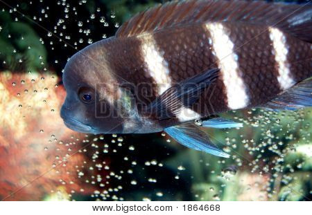 African Frontosa Cichlid