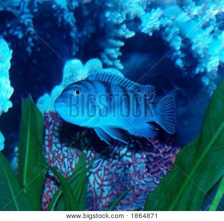 Female Freshwater Kenyi Pregnant