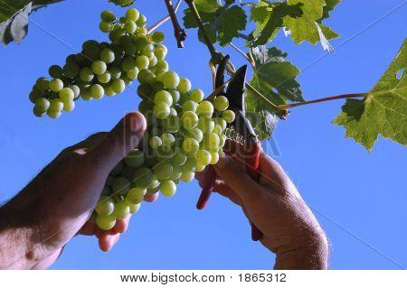 Selecionador de uva