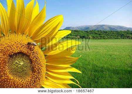 Sunflower and beautiful meadow. Elements of nature design.