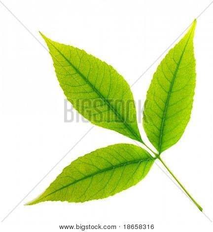 Isolated green leaf of tree. Element of design.