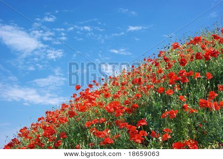 Poppies and sky. Nature composition.