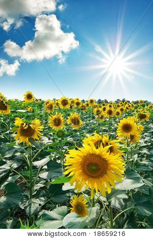 Big meadow of sunflowers. Design of nature.