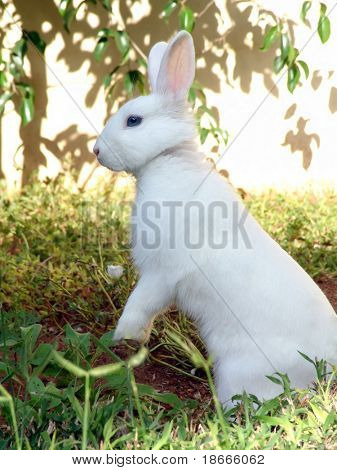 The Easter bunny portrait. White rabbit on a patch of green grass. Noise removed, no sharpening applied.