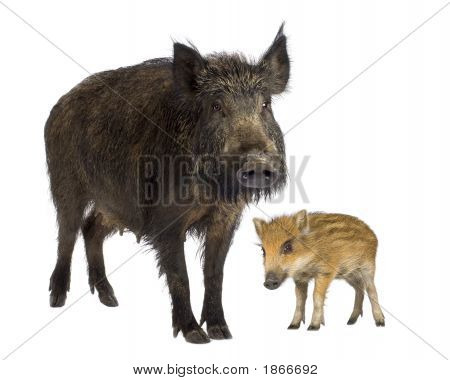 Wild Boar And Her Young Wild Boar