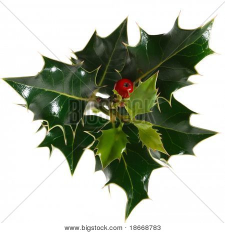 green holly twig, over white