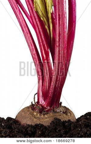 red beet beetroot growing in the soil, isolated on white, shalow DOF
