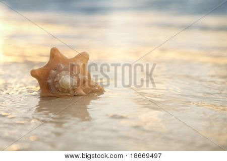 seashell in the sea with sunrise light, shallow DOF