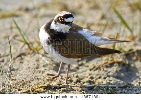 Portrait Of A Little Ringed Plover