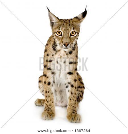 Lynx (2 Jahre)