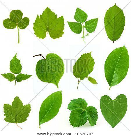 Collection of green leaves isolated on white