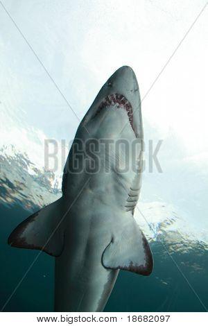 Submarino tiburón