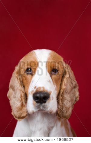 Cocker Spaniel Series.