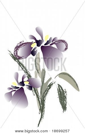 beautiful blossom watercolor iris on white background