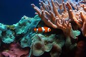picture of clown fish  - the color fish floats in an aquarium - JPG